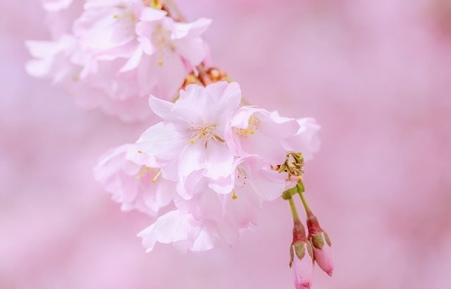 東京の桜名所で、大人のデートを楽しもう